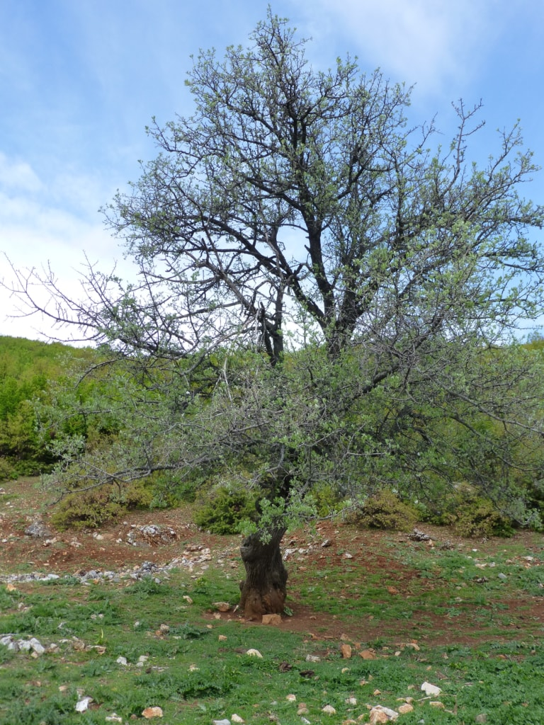 Olive tree - Protected area guides for Albania/Nature Experience Albania