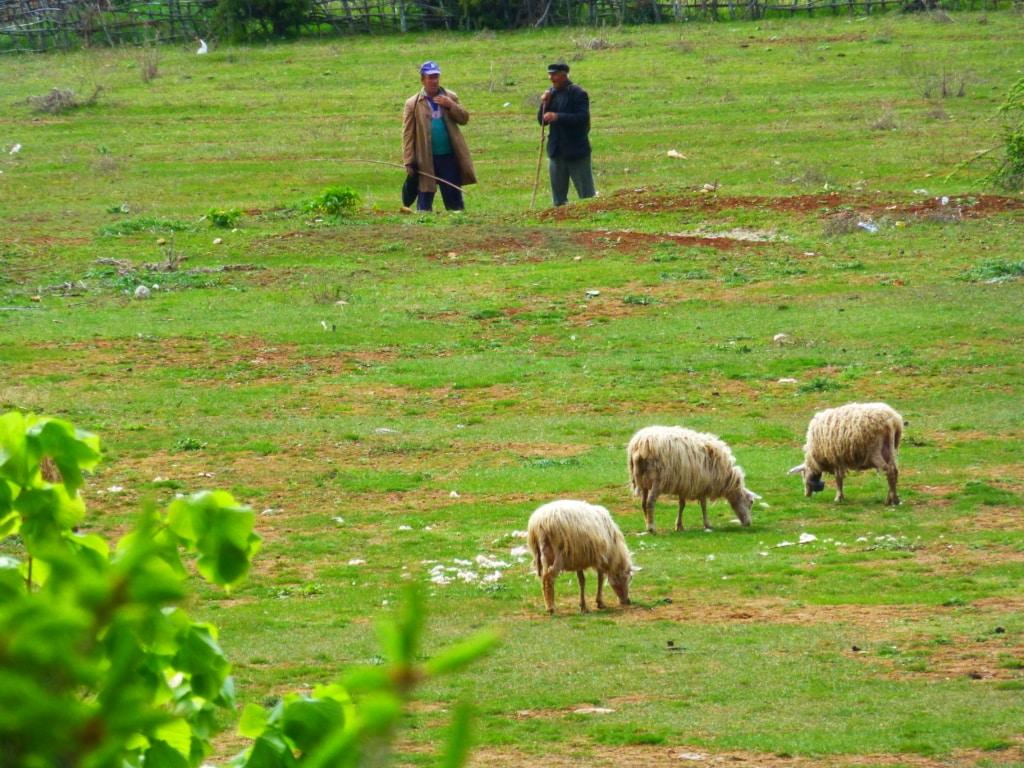 Sheep near Prespa lake - Protected area guides for Albania/Nature Experience Albania