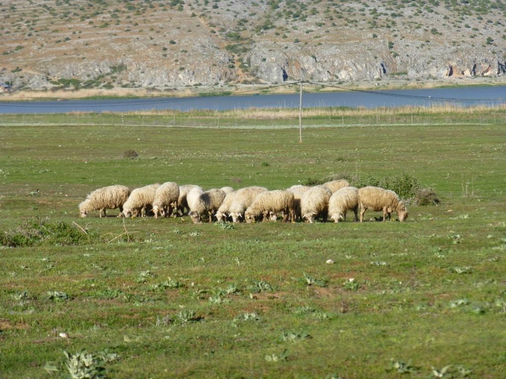Schafe am Prespa See - Schutzgebietsguides für Albanien/Naturerlebnis Albanien